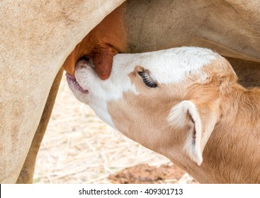 Closeup Calf suckling milk from mom, soft and blur focus