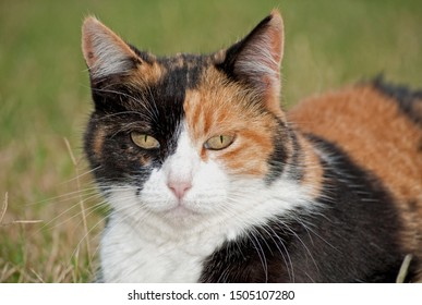 Closeup of a calico cat with different color face halves