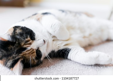 Closeup of calico cat face lying down on carpet sleepy in home living room with paws, stomach, white fur up