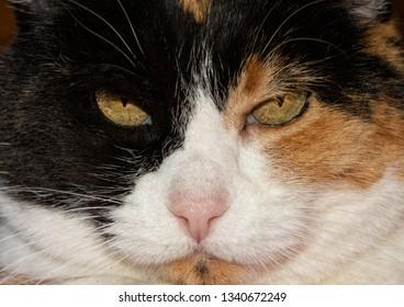 Closeup of a calico cat's face, staring at the viewer menacingly