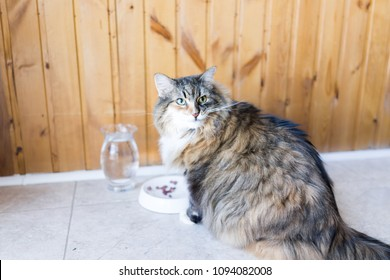 Closeup of calico maine coon cat sitting eating angry sneer hungry facial expression funny, sunny day kitchen, water, meat in bowl