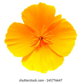 Close-up of California Golden Poppy flower isolated on white background