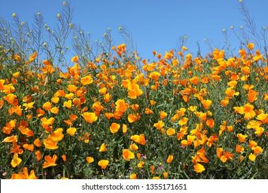 Closeup of California Orange Poppies  in Walker Canyon Near Lake Elsinore During Wildflower Super Bloom of 2019