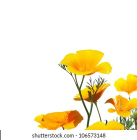 Close-up of California Poppy isolated on white background