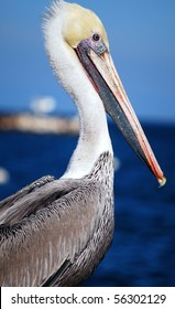 Close-up of a Californian pelican (Pelecanus erythrorhynchos) with ocean in the background