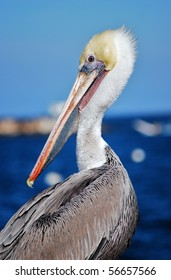 Close-up of a Californian pelican (Pelecanus erythrorhynchos) looking backwards with the ocean in the background
