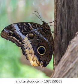 Closeup of the Caligo atreus butterfly known as the Magnificent Owl.