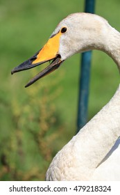 Close-up of a calling Whooper Swan