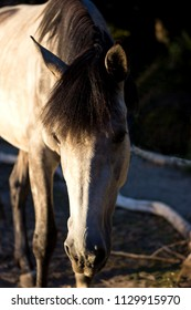 Closeup of a calm three years old Spanish horse.