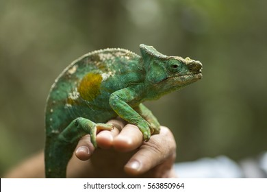 Closeup of a cameleon in his natural habitat staying on a man hand, Madagascar.