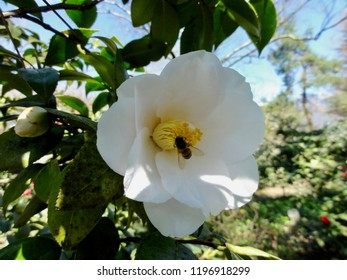 closeup of Camellia blooming at sunny day with bee in flower. Camelliapark at Locarno Tessin. CH Switzerland. 15th Apr. 2014