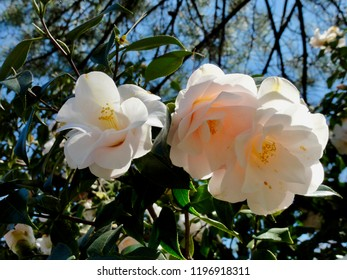 closeup of Camellia blooming at sunny day. Camelliapark at Locarno Tessin. CH Switzerland. 15th Apr. 2014