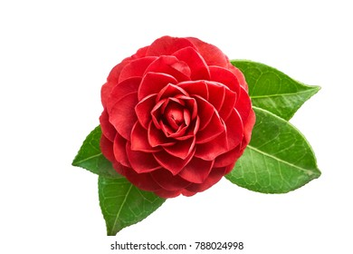 Closeup of Camellia japonica flower, which is commonly knwon as camellia or rose of winter.