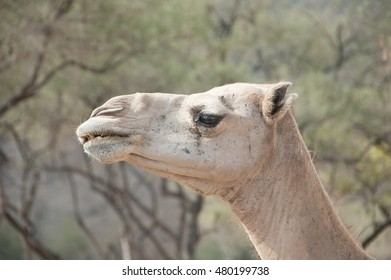 Closeup of a camel's head