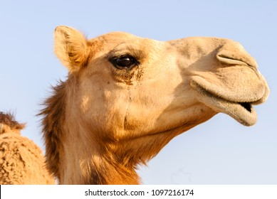 Closeup of a camel's nose and mouth, showing its teeth, nostrils closed to keep out sand