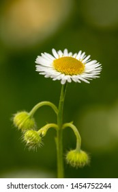 Closeup of camomile on a blurred green background. Beautiful daisy in the summer field. Blooming daisy.