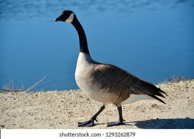 Closeup of a Canada goose as it waddles near the water's edge, honking incessantly as it walked by. Blurred background, copy space. Location: Bolsa Chica Ecological Reserve in Huntington Beach, CA.