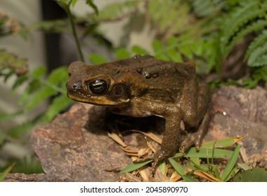 Closeup of a Cane Toad in Queensland Australia