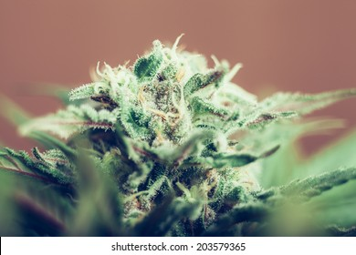 Closeup of Cannabis female plant in flowering phase.