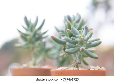 Closeup cantus tree