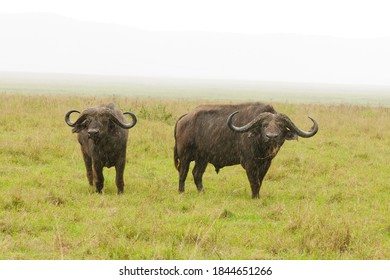 "Closeup of Cape Buffalo (scientific name: Syncerus caffer or ""Nyati or Mbogo"" in Swaheli) in the Ngorongoro crater Tanzania"