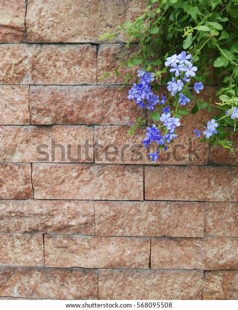 Close-up cape leadwort (Plumbago auriculata) flower  on brown brick wall.