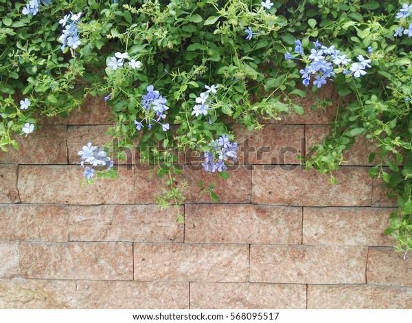 Close-up cape leadwort (Plumbago auriculata) flower  on brown brick wall