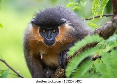 Close-up of a Capped Langur staring into the lens in a forest in Bhutan.