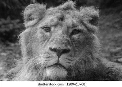 Close-up of a captive male lion. Photograph taken in a bio park.