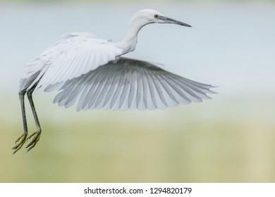 closeup capture of an flying egret