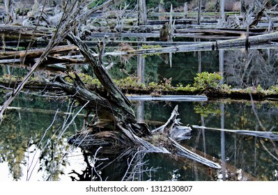 Closeup capture of uprooted old forest trees laying flat in the shallow waters of Westwood lake exposing beautiful weathered wood texture surrounded by calm water surface and reflections in the water