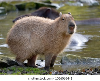 Closeup capybara (Hydrochoerus hydrochaeris) the paws in water at the edge of a pond and seen from profile