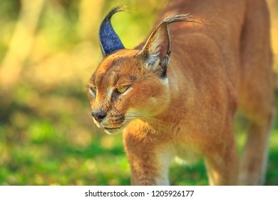 Closeup of Caracal, African lynx. Desert cat in green grass vegetation. Wild cat in nature habitat, South Africa. Adult Caracal Caracal walking outdoor. Felis caracal in blurred background.