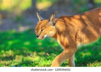 Closeup of Caracal, African lynx. Desert cat walking in green grass vegetation. Wild cat in nature, South Africa. Adult Caracal Caracal outdoor. Felis caracal in blurred background.