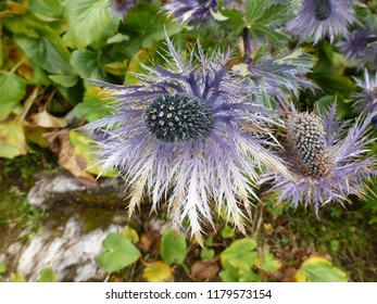 close-up of a carline thistle