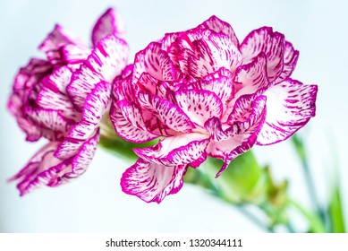 Closeup of a carnation flower