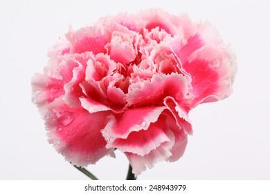 closeup carnation flower on white background