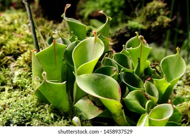 Close-up of carnivorous plants Heliamphora among other carnivorous plants. Soft focus