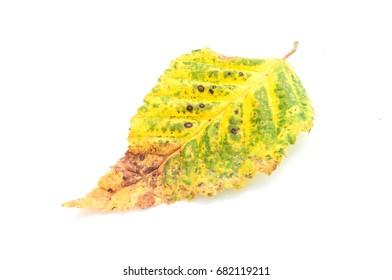 closeup of carpinus  betulus leaf in autumn on white background
