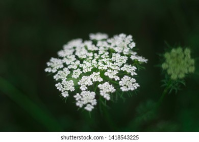 Close-up of carrot flower, known as Daucus carot