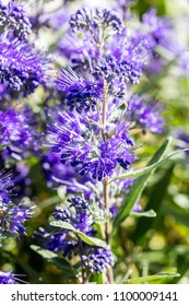 close-up of Caryopteris, heavenly blue clandonensis flowers in sunny garden, springtime