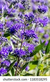closeup of Caryopteris, heavenly blue clandonensis, perennial flowery plants in sunny garden springtime