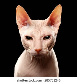 Closeup Cat of breed Sphynx Looking in camera Isolated on Black
