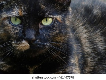 Closeup Cat Eyes Split Face Pattern - Close up black & orange pet tortoiseshell kitty cat with a split face pattern, looking straight at the camera, feline animal background photo.
