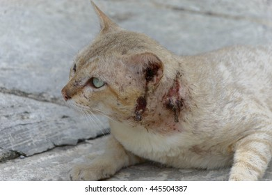 Closeup Cat Is Sick images cat has open flesh wounds on neck