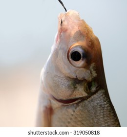 Closeup catch of one river or lake little fish hanging on sharp fish-hook on lip with maggot sunny day outdoor on water background, square picture