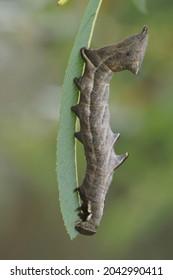 Closeup of the caterpillar of the pebble prominent moth, Notodonta ziczac feeding on purple willow, Salix purpurea in the garden