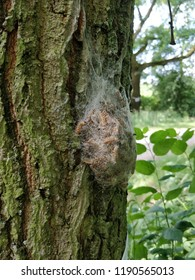 A closeup of caterpillars on a tree trunk in Germany. The loopers are processionary caterpillars. They are still in their cocoon.