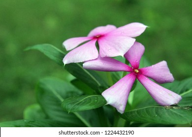 Closeup Catharanthus roseus (Cape Periwinkle, Bright Eye, Indian Periwinkle, Madagascar Periwinkle, Pinkle-pinkle, Pink Periwinkle, Vinca). A colorful of fully blossoming flower, copy space for text.