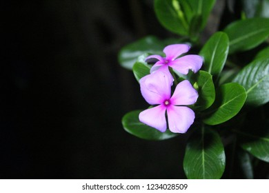 Closeup Catharanthus roseus (Cape Periwinkle, Bright Eye, Indian Periwinkle, Madagascar Periwinkle, Pinkle-pinkle, Pink Periwinkle).fully blossoming flower on dark background , copy space for text.